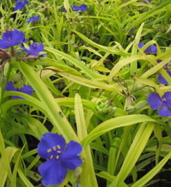 Spiderwort - Blue & Gold